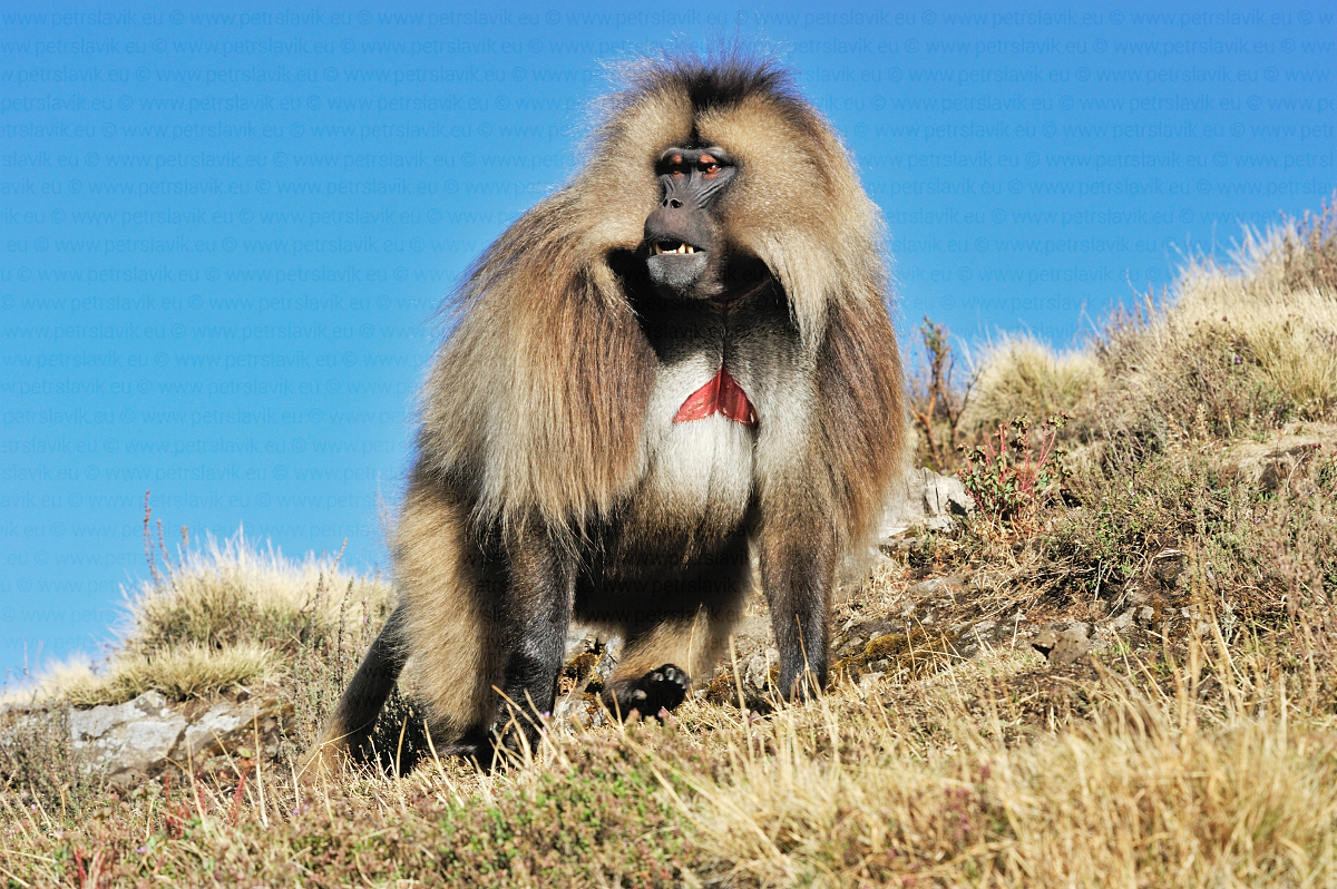 Dželada hnědá(Theropithecus gelada),Simien Mountains,Etiopie