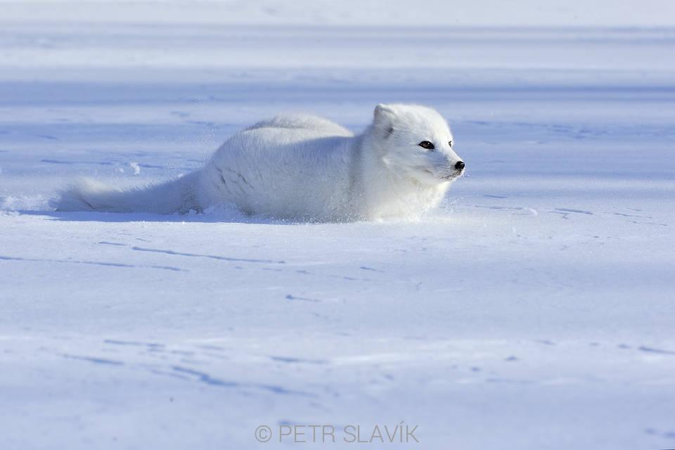 Liška polární (Vulpes lagopus) 6c78aa05e4